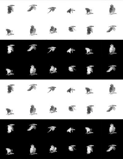 danielatkins_sea-eagle-in-laboured-flight_web